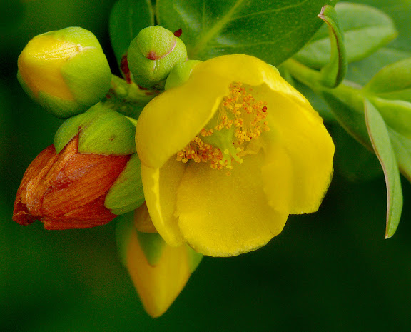 Hypericum uralum – Clusiaceae – Himalayan region including parts of Pakistan, Nepal, India, Bhutan, Myanmar and China; Bhutan origin of plant above. It was known to have medical properties in Classical Antiquity and is a common treatment in homeopathy, used for the healing of deep wounds or as a relief from depression. Contemporary pharmacology has isolated two compounds, hyperforin and hypericin, which are used to treat mild depression. Interestingly, in ancient Greece Hypericum was hung above pictures to ward off evil spirits (hyper-above and eikon-a picture). However, its effectiveness as an anti-depressant is still debatable and has a number of known side-effects, such as photosensitivity. Photo by James Gaither