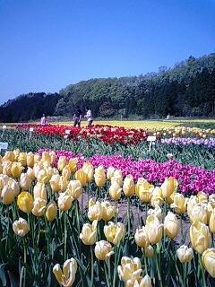 立山連峰の花畑