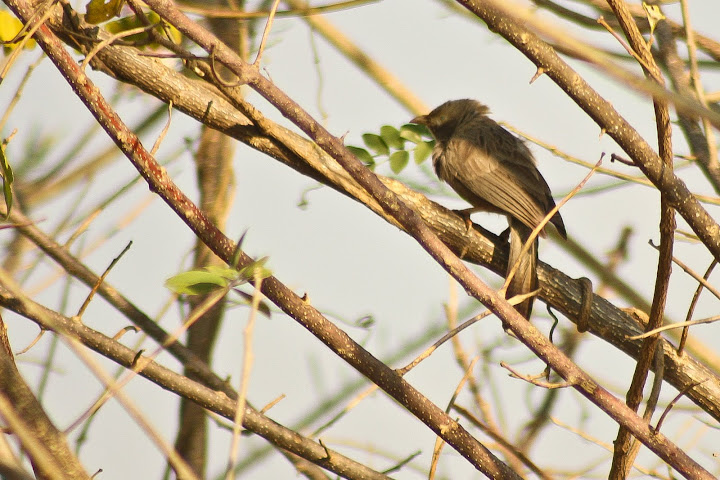 Yellow Billed Babbler