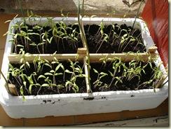 tomato seedlings 11-3_1_1_1