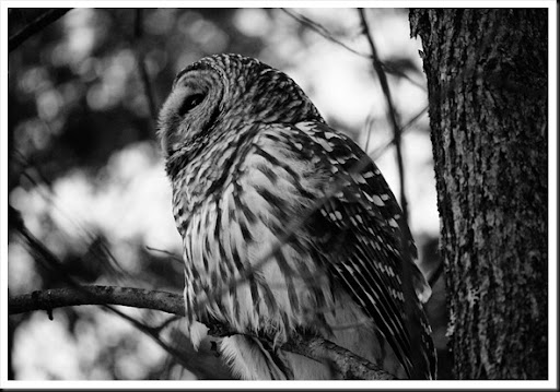 barred owl side BW