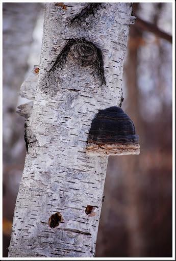 Birch Tree Mushroom