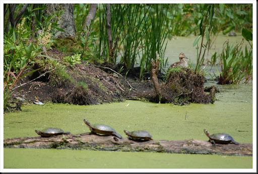 duckling and turtles