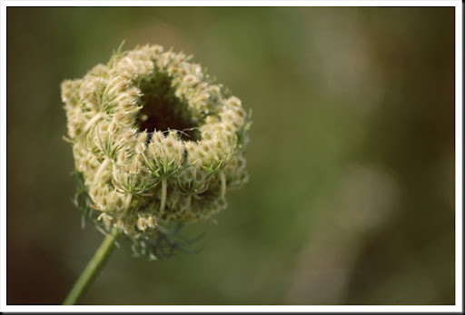 queen anne's lace opening
