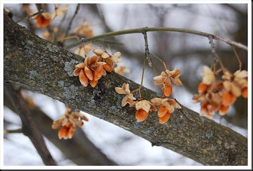 winter orange euonymus