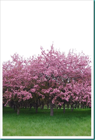 Apple Blossom Trees2