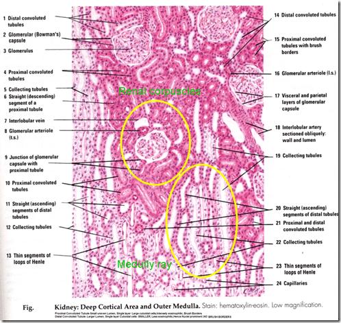 Anatomy & Histology of the Urinary Tract -