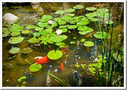 DSC_0081-fish-lily