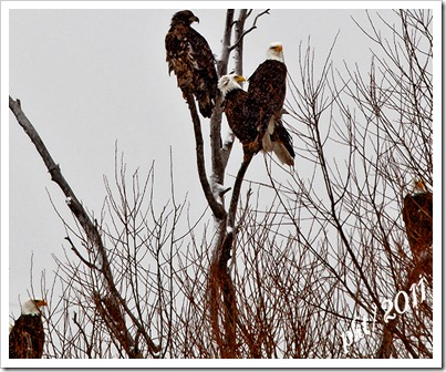 DSC_3598-eagles-in-tree-snowing