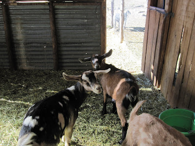 Goats at Valian's Farm