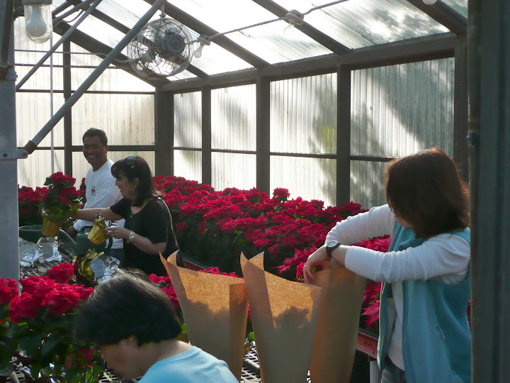 OCC Horticulture Club Poinsettias