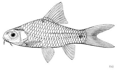 Gambar artis Ikan Beunteur dari sungai Mekong, Kamboja
