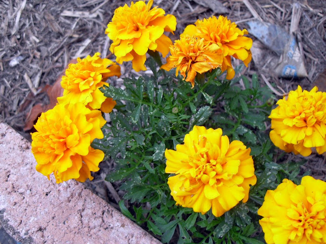 A Marigold in Flower