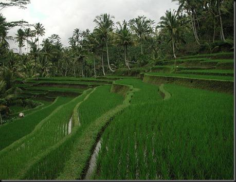 800px-Gunung_Kawi_Rice_Terrace_Tampaksiring_1