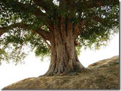 Peepal Tree