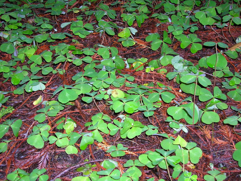 Fresh redwood sorrel sprouts