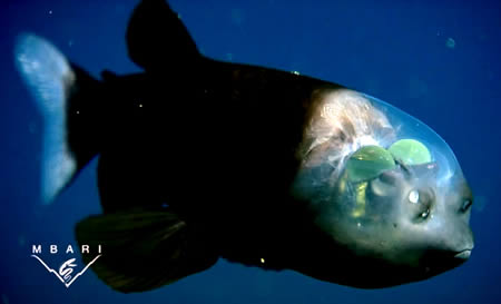 Transparent Head Fish
