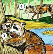 3. raccoon  4. wolf-wolves