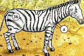 36. zebra a. stripes