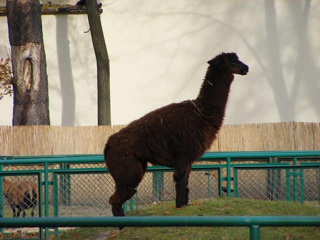 Alpaka zachowała w obliczu dyń iście stoicki spokój...