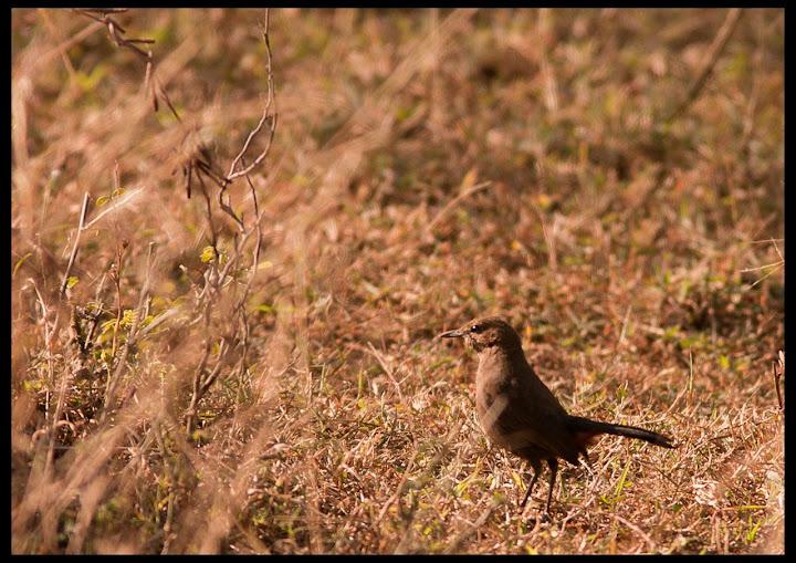 Indian Robin - Female