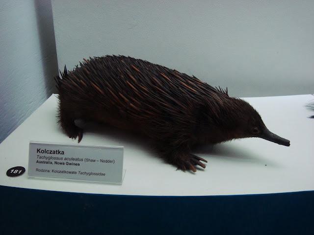 Muzeum Przyrodnicze we Wrocławiu - kolczatka