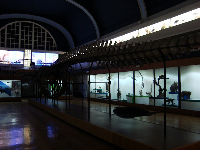 Muzeum Przyrodnicze we Wrocławiu - szkielet płetwala błękitnego