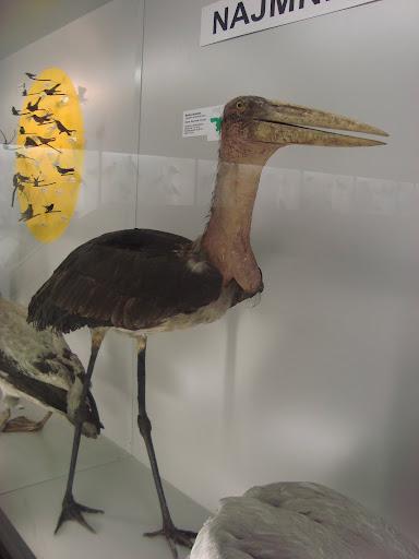 Muzeum Przyrodnicze we Wrocławiu - Marabut