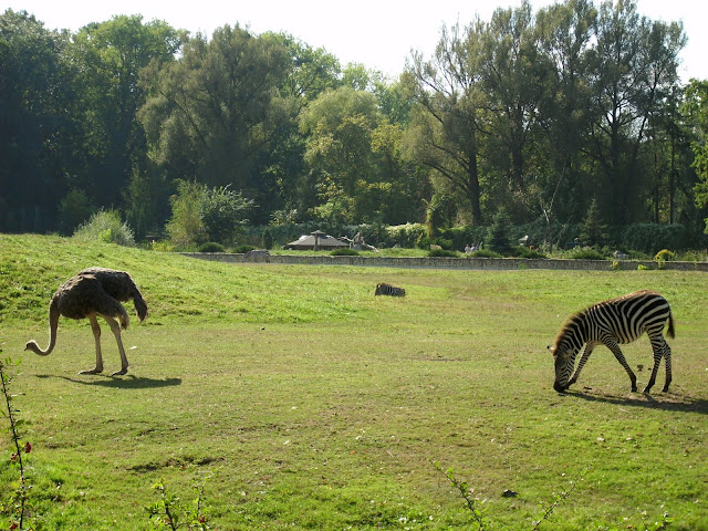 Zebra i struś na jednym wybiegu - Zoo Opole
