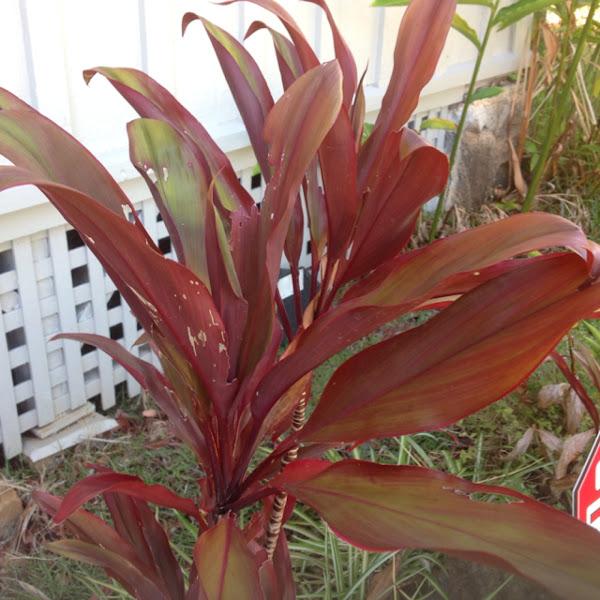 Red Tea Leaf Project Noah