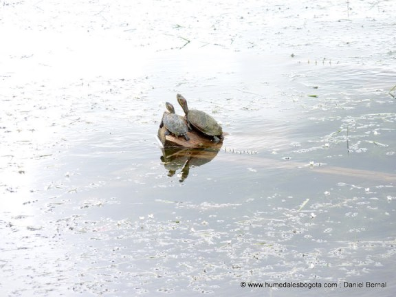 Tortugas hicotea en el lago del parque Simón Bolivar