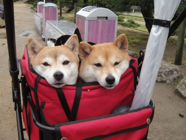 Akita puppies in a cloth trolley. Their faces seem to say,