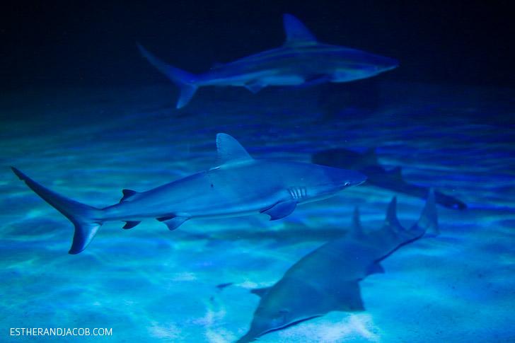 Celebrating Shark Week at the Shark Reef Aquarium at Mandalay Bay Las Vegas NV.