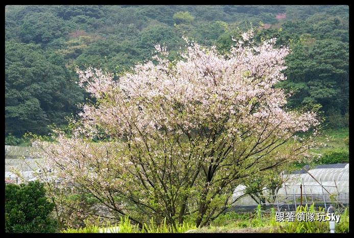 台北景點推薦【竹子湖】陽明山賞櫻花摘海芋