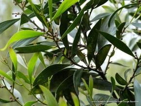 Hoja de Acacia negra, Humedal El Salitre