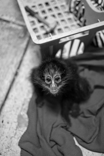 Black Spider Monkey Pictures at an exotic petting zoo.