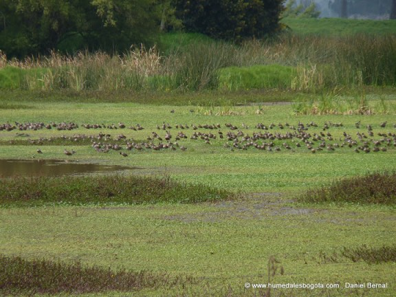 Miles de patos canadienses