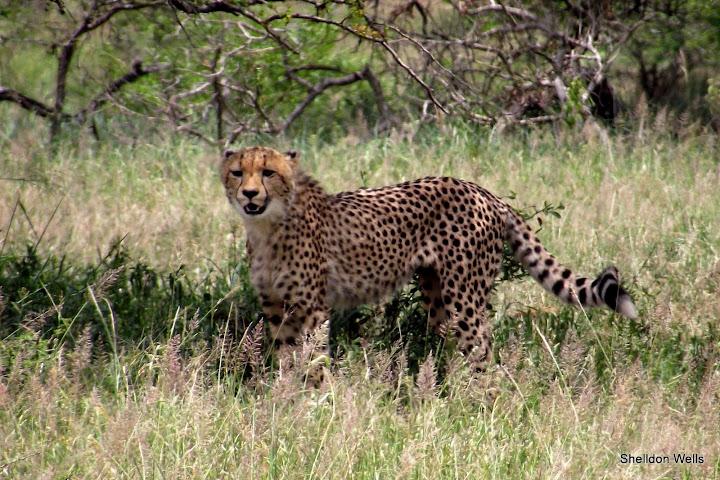 cheetah at hluhluwe imfolozi game reserve