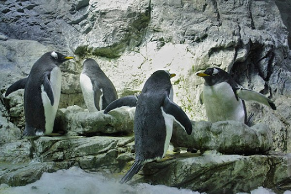 osaka aquarium, penguins face off, penguins sunbathing, top attractions in osaka japan