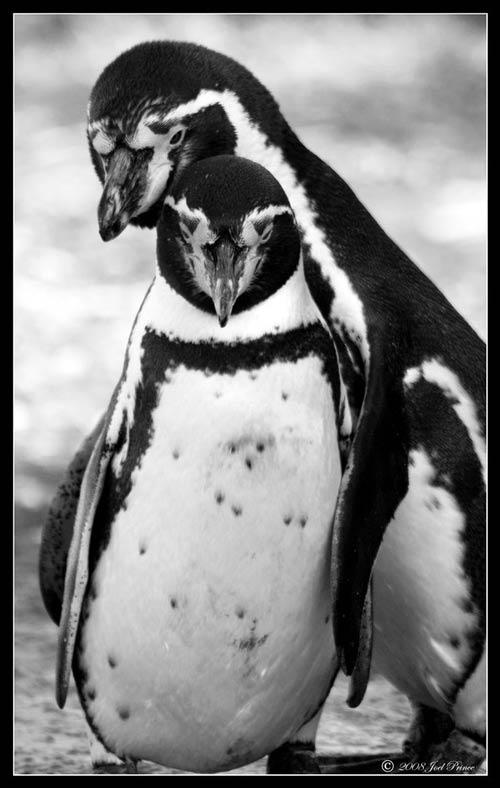 Animales cariñosos: Pingüinos