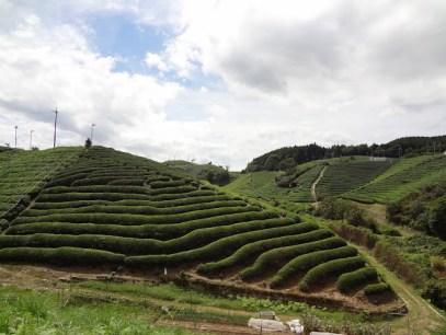Rolling green tea fields outside Uji