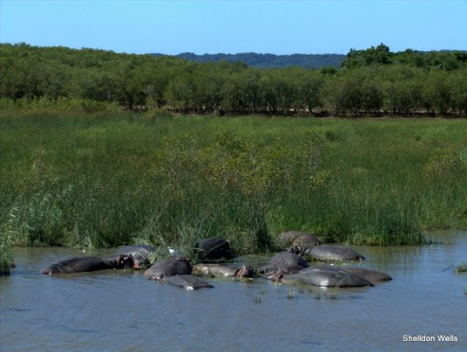 Raft of Hippo at St.Lucia