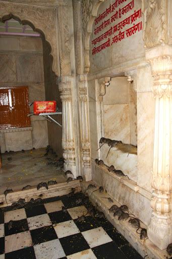 rat worship temple in india