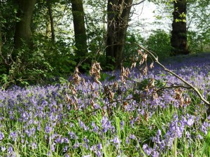 A dead twig with Bluebells
