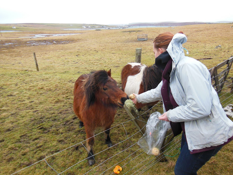 Shetland Ponies, Unst, Shetland