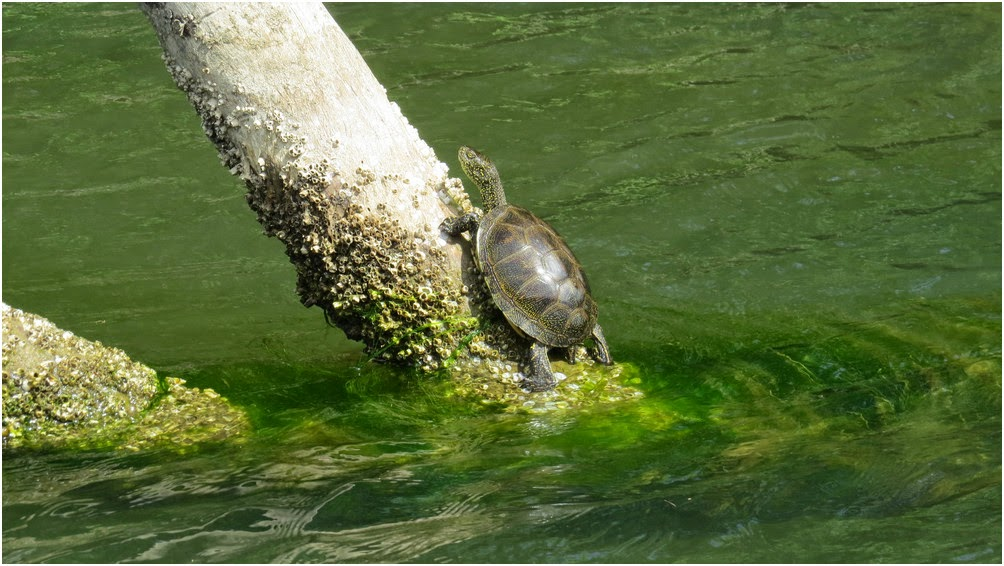 Little water turtle trying to climb up a tree branch