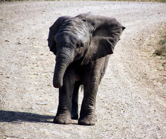 Baby Elephant at Hluhluwe Imfolozi Game Reserve