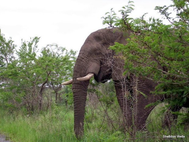Bull elephant behind a tree at the Hluhluwe Imfolozi Game Reserve