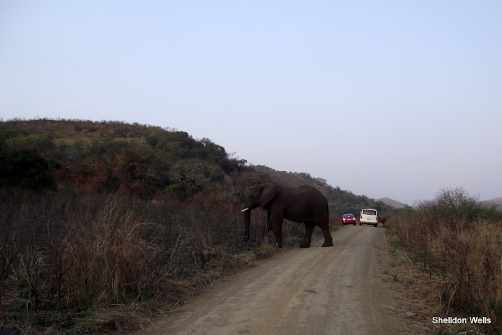 elephant crossing the road at hluhluwe imfolozi game reserve day safari