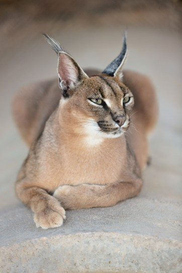 African Caracals at Roos n More Zoo Moapa NV.